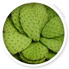 Kaktus z rodziny opuncji.