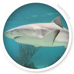 Chrząstka rekina